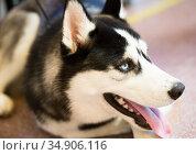 Siberian Husky Portrait of thoroughbred Siberian Husky dog. Стоковое фото, фотограф Татьяна Яцевич / Фотобанк Лори