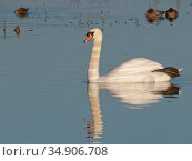 Mute swan (Cygnus olor) cob swimming on flooded pastureland with one foot stretched out, Catcott Lows National Nature Reserve, Somerset, UK, January. Стоковое фото, фотограф Nick Upton / Nature Picture Library / Фотобанк Лори