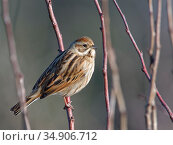 Reed bunting (Emberiza schoeniclus) female perched in a bush in winter sunshine, RSPB Otmoor, Oxfordshire, UK, January. Стоковое фото, фотограф Nick Upton / Nature Picture Library / Фотобанк Лори