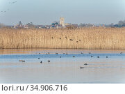 Common teal (Anas crecca) group about to land in a reed fringed marshland pool to join a variety of other wildfowl swimming on it, with Charlton on Otmoor... Стоковое фото, фотограф Nick Upton / Nature Picture Library / Фотобанк Лори