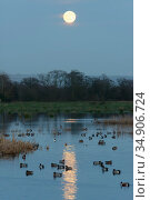 Wigeon (Anas penelope) group swimming on flooded pastureland at dusk with a rising full Wolf moon, Catcott Lows National Nature Reserve, Somerset, UK, January. Стоковое фото, фотограф Nick Upton / Nature Picture Library / Фотобанк Лори