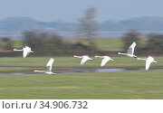 Bewick's swan (Cygnus columbianus bewickii) group flying over partially flooded pastureland, blurred motion, Gloucestershire, UK, January. Стоковое фото, фотограф Nick Upton / Nature Picture Library / Фотобанк Лори