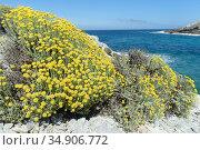 Eternal / Everlasting flower (Helichrysum stoechas) clumps flowering on a rocky coast, near Arta, Majorca east coast, May. Стоковое фото, фотограф Nick Upton / Nature Picture Library / Фотобанк Лори