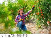 Positive gardener gathering crop of ripe pomegranates in orchard. Стоковое фото, фотограф Яков Филимонов / Фотобанк Лори