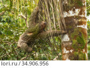 Brown-throated three-toed sloth (Bradypus variegatus) climbing tree. Costa Rica. Стоковое фото, фотограф Guy Edwardes / Nature Picture Library / Фотобанк Лори
