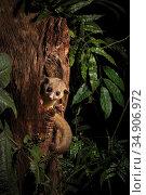 Kinkajou (Potos flavus) juvenile peering out of tree hollow. Rehabilitated animal prior to release. Near San Jose, Costa Rica. Стоковое фото, фотограф Guy Edwardes / Nature Picture Library / Фотобанк Лори
