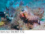 Peacock mantis shrimp (Odontodactylus scyllarus). Lembeh Strait, North Sulawesi, Indonesia. Стоковое фото, фотограф Georgette Douwma / Nature Picture Library / Фотобанк Лори