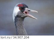Common / Eurasian crane (Grus grus) calling close up, captive, WWT Slimbridge, Gloucestershire, UK, February. Стоковое фото, фотограф Nick Upton / Nature Picture Library / Фотобанк Лори