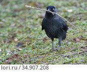 Jackdaw (Corvus monedula) walking in a garden with a twig it has collected for its nest, Gloucestershire, UK, February. Стоковое фото, фотограф Nick Upton / Nature Picture Library / Фотобанк Лори
