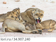 Lioness (Panthera leo) snarling, with suckling cubs, Kgalagadi Transfrontier Park, South Africa. Стоковое фото, фотограф Ann & Steve Toon / Nature Picture Library / Фотобанк Лори