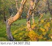 Sessile oak trees (Quercus petraea) Loch na Keal, Mull, Scotland. Стоковое фото, фотограф Niall Benvie / Nature Picture Library / Фотобанк Лори