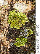 Tree lungwort (Lobaria pulmonaria) Crinan Wood, Crinan, Argyll, Scotland, UK, July. Стоковое фото, фотограф Niall Benvie / Nature Picture Library / Фотобанк Лори