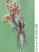 Raft spider (Dolomedes fimbriatus) with web on Rush (Juncus sp). Klein Schietveld, Brasschaat, Belgium. September. Стоковое фото, фотограф Bernard Castelein / Nature Picture Library / Фотобанк Лори