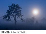 Scot's pine (Pinus sylvestris) tree in mist under full moon, at dawn. Klein Schietveld, Brasschaat, Belgium. September. Стоковое фото, фотограф Bernard Castelein / Nature Picture Library / Фотобанк Лори
