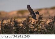 Hen harrier (Circus cyaneus) juvenile in flight. Uto, Pargas, Finland. September. Стоковое фото, фотограф Jussi Murtosaari / Nature Picture Library / Фотобанк Лори