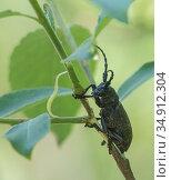 Weaver beetle (Lamia textor). Jyvaskyla, Central Finland. Стоковое фото, фотограф Jussi Murtosaari / Nature Picture Library / Фотобанк Лори
