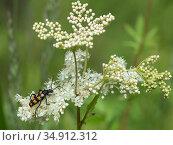 Four-banded longhorn beetle (Leptura quadrifasciata) on Meadowsweet (Filipendula ulmaria). Jyvaskyla, Central Finland. July. Стоковое фото, фотограф Jussi Murtosaari / Nature Picture Library / Фотобанк Лори