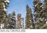 Siberian jay (Perisoreus infaustus) flying in coniferous forest. Kuusamo, Northern Ostrobothnia, Finland. February. Стоковое фото, фотограф Jussi Murtosaari / Nature Picture Library / Фотобанк Лори