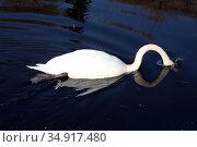 Gruenheide, Germany, Swan dips its head into water. Редакционное фото, агентство Caro Photoagency / Фотобанк Лори