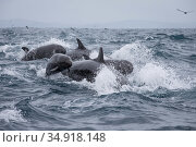 False killer whales (Pseudorca crassidens) surfacing  Northern New Zealand Editorial use only. Редакционное фото, фотограф Richard Robinson / Nature Picture Library / Фотобанк Лори