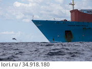 Pelagic Bottlenose dolphin (Tursiops truncatus ) rides the bow of a Maersk container ship,  Northern New Zealand Editorial use only. Редакционное фото, фотограф Richard Robinson / Nature Picture Library / Фотобанк Лори