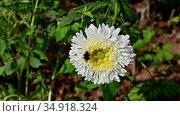 Красивая астра и шмель, собравший на задних лапках комочки из пыльцы. A bumblebee with pollen collected on its hind legs pollinates a white Aster flower. Стоковое видео, видеограф Владимир Литвинов / Фотобанк Лори