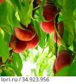 Ripe flat peaches growing on tree branches. Стоковое фото, фотограф Яков Филимонов / Фотобанк Лори