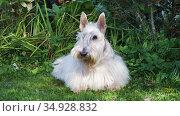 Funny Scottish terrier dog lying on a green lawn in the yard on a sunny summer day. Стоковое видео, видеограф Алексей Кузнецов / Фотобанк Лори