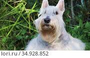 Portrait of a white Scottish terrier dog outdoors on a sunny summer day. Стоковое видео, видеограф Алексей Кузнецов / Фотобанк Лори