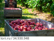 Ripe peaches in a wooden crate in the garden on day. Стоковое фото, фотограф Яков Филимонов / Фотобанк Лори