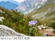 Blue flower of Caucasian pincushion flower (Scabiosa caucasica) on blurred alpine background. Стоковое фото, фотограф Евгений Харитонов / Фотобанк Лори