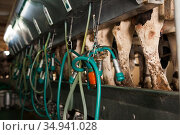 ilking facility on modern dairy farm close up. Стоковое фото, фотограф Яков Филимонов / Фотобанк Лори