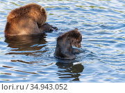 Brown bear cub with she-bear fishing red salmon fish in river during spawning. Стоковое фото, фотограф А. А. Пирагис / Фотобанк Лори