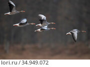 Greylag goose (Anser anser) flock in flight. Hjalstaviken nature reserve, Uppland, Sweden. April. Стоковое фото, фотограф Staffan Widstrand / Nature Picture Library / Фотобанк Лори