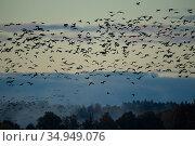 Barnacle goose (Branta leucopsis) flock in flight over trees. Hjalstaviken nature reserve, Uppland, Sweden. October. Стоковое фото, фотограф Staffan Widstrand / Nature Picture Library / Фотобанк Лори