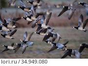 Barnacle goose (Branta leucopsis) flock in flight, taking off. Hjalstaviken nature reserve, Uppland, Sweden. October. Стоковое фото, фотограф Staffan Widstrand / Nature Picture Library / Фотобанк Лори