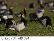 Barnacle goose (Branta leucopsis) amongst flock in grassland. Hjalstaviken nature reserve, Uppland, Sweden. October. Стоковое фото, фотограф Staffan Widstrand / Nature Picture Library / Фотобанк Лори