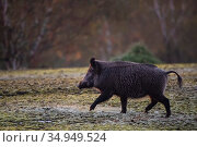 Wild boar (Sus scrofa) running through mud. Eriksberg Wildlife and Nature Park, Blekinge, Sweden. October. Captive. Стоковое фото, фотограф Staffan Widstrand / Nature Picture Library / Фотобанк Лори