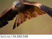 RF - Red kite (Milvus milvus) in flight. Calera y Chozas, Castile... Стоковое фото, фотограф Staffan Widstrand / Nature Picture Library / Фотобанк Лори