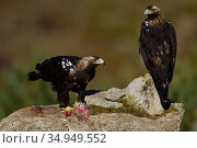 RF - Spanish imperial eagle (Aquila adalberti), two on rock, one eating... Стоковое фото, фотограф Staffan Widstrand / Nature Picture Library / Фотобанк Лори