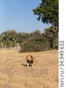 Lion (Panthera leo) male walking through grassland. Okavango Delta, Botswana. Стоковое фото, фотограф Suzi Eszterhas / Nature Picture Library / Фотобанк Лори
