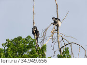 Black and white colobus monkey (Colobus guereza), two in treetops. Kibale Forest National Park, Uganda. Стоковое фото, фотограф Suzi Eszterhas / Nature Picture Library / Фотобанк Лори