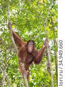 Bornean orangutan (Pongo pygmaeus) sub-adult vocalising in rainforest. Tanjung Puting National Park, Indonesia. Стоковое фото, фотограф Suzi Eszterhas / Nature Picture Library / Фотобанк Лори