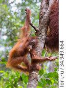 Bornean orangutan (Pongo pygmaeus) baby aged two years hanging in tree. Tanjung Puting National Park, Indonesia. Стоковое фото, фотограф Suzi Eszterhas / Nature Picture Library / Фотобанк Лори