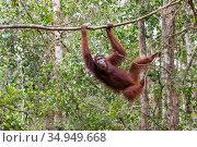 Bornean orangutan (Pongo pygmaeus) female moving through rainforest canopy. Tanjung Puting National Park, Indonesia. Стоковое фото, фотограф Suzi Eszterhas / Nature Picture Library / Фотобанк Лори
