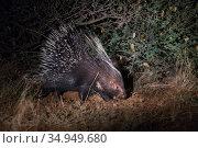 Cape porcupine (Hystrix africaeaustralis) walking at night. Kalahari Desert, South Africa. Стоковое фото, фотограф Suzi Eszterhas / Nature Picture Library / Фотобанк Лори
