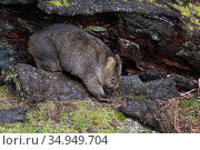 Common wombat (Vombatus ursinus) walking amongst rocks. Cradle Mountain National Park, Tasmania, Australia. Стоковое фото, фотограф Suzi Eszterhas / Nature Picture Library / Фотобанк Лори