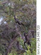 Yellow-tailed black cockatoo (Calyptorhynchus funereus), two perched in tree. Kangaroo Island, South Australia. Стоковое фото, фотограф Suzi Eszterhas / Nature Picture Library / Фотобанк Лори