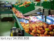 Fresh peaches on conveyor belt of sorting production line. Стоковое фото, фотограф Яков Филимонов / Фотобанк Лори
