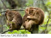 Tibetan macaques (Macaca thibetana) babies playing, Tangjiahe Nature Reserve, Sichuan, China. Стоковое фото, фотограф Wayne Wu Ying / Wild Wonders of China / Nature Picture Library / Фотобанк Лори